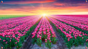 Tulip Banner